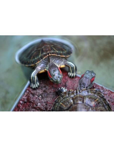 Location de tortue d'eau douce ou tortue aquatique