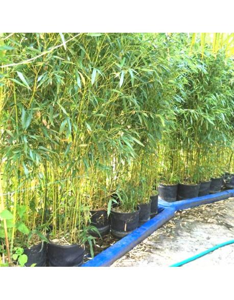 location de bambous naturels en pot