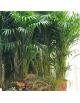 Kentia naturel 2,10m