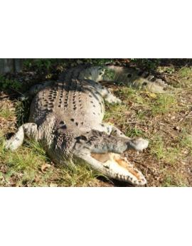 Crocodile en résine 2,20m