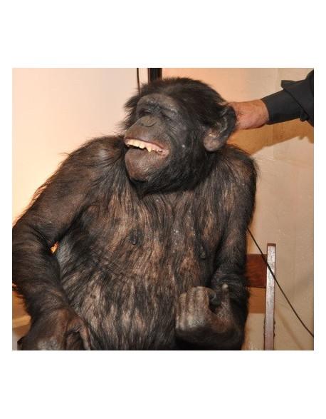 Chimpanzé-Bonobo