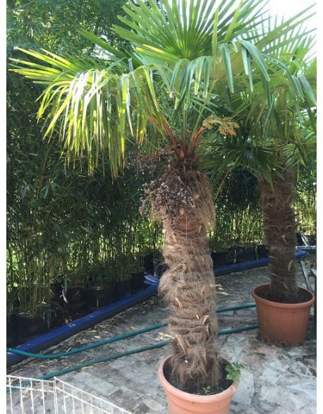 location de palmiers naturels en pot