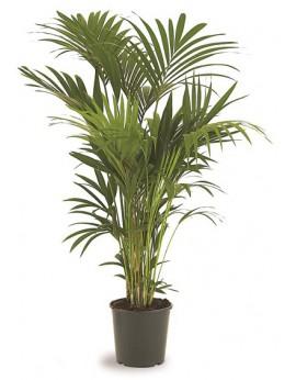 Location palmiers Kentia